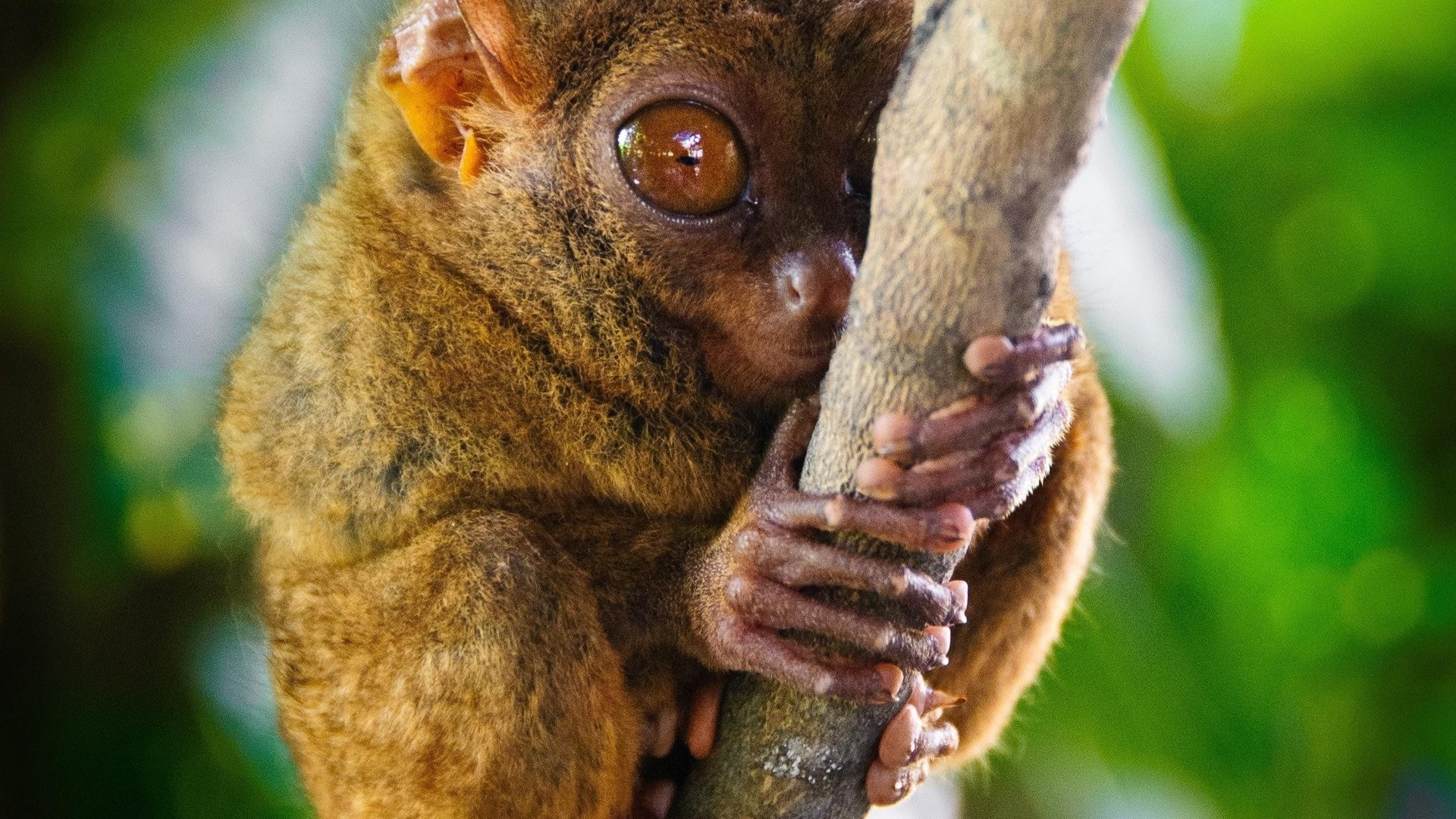 Tarsier Wallpaper