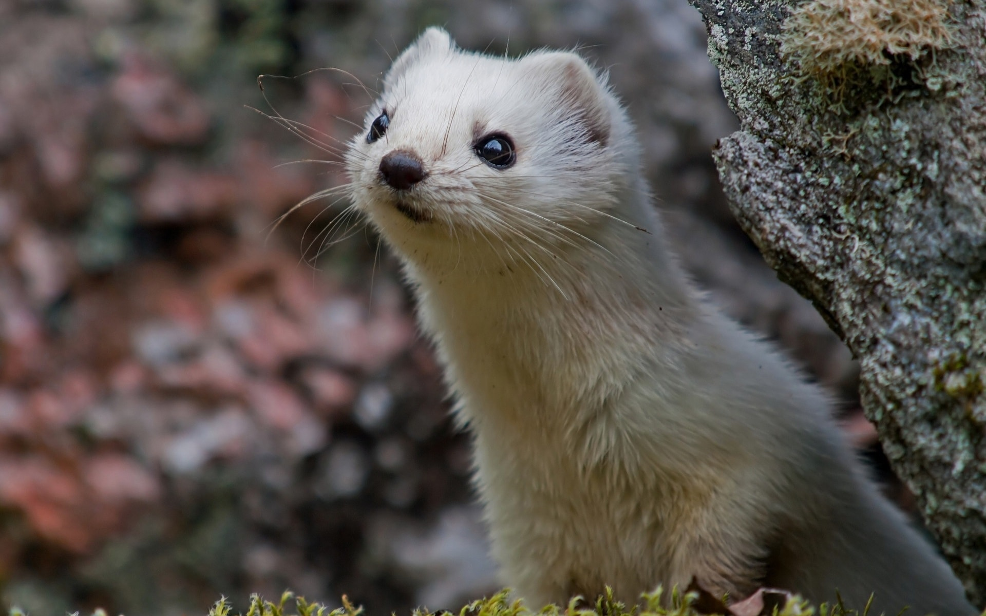 Weasel Wallpaper