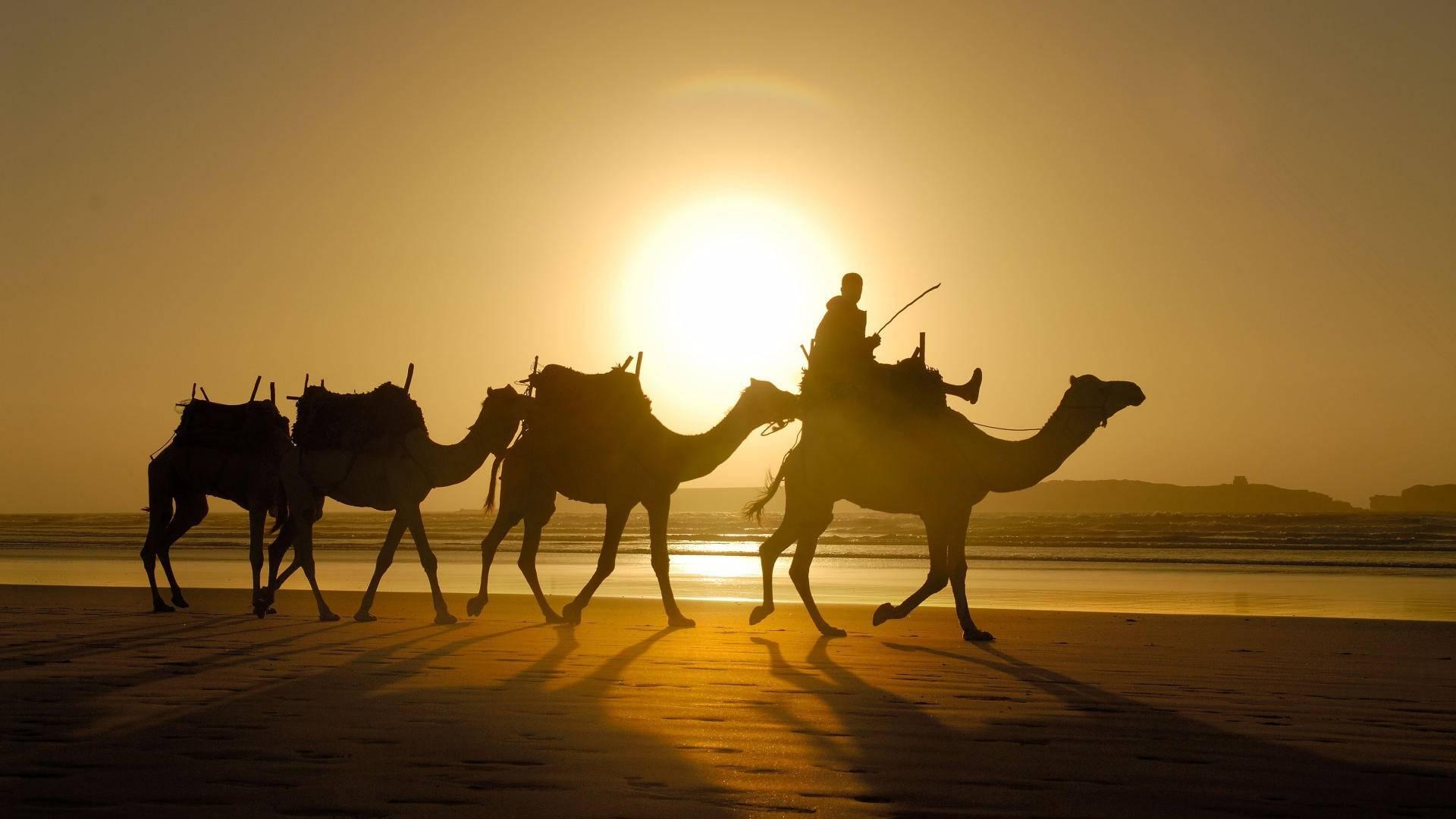 Camel Backgrounds