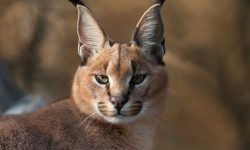 Caracal Backgrounds