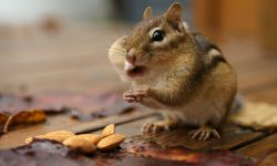 Chipmunk Backgrounds