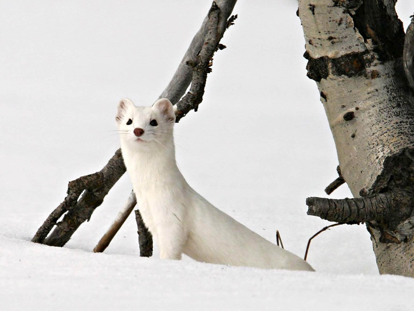 Ermine HD pictures