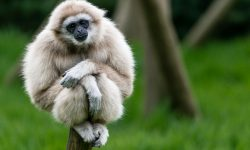Gibbon Backgrounds