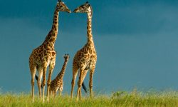 Giraffe Backgrounds