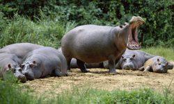 Hippopotamus Backgrounds