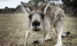 Kangaroo Backgrounds