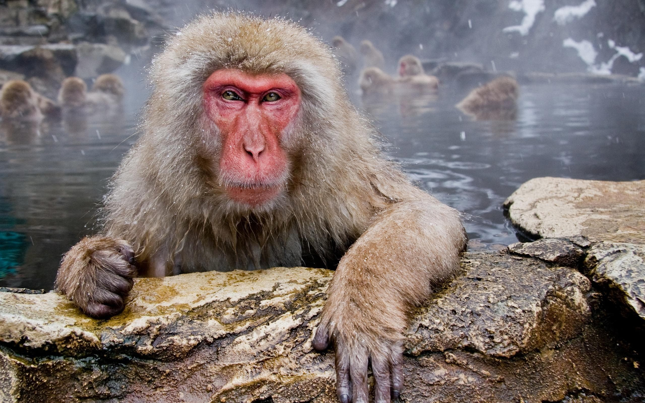 Macaque Backgrounds