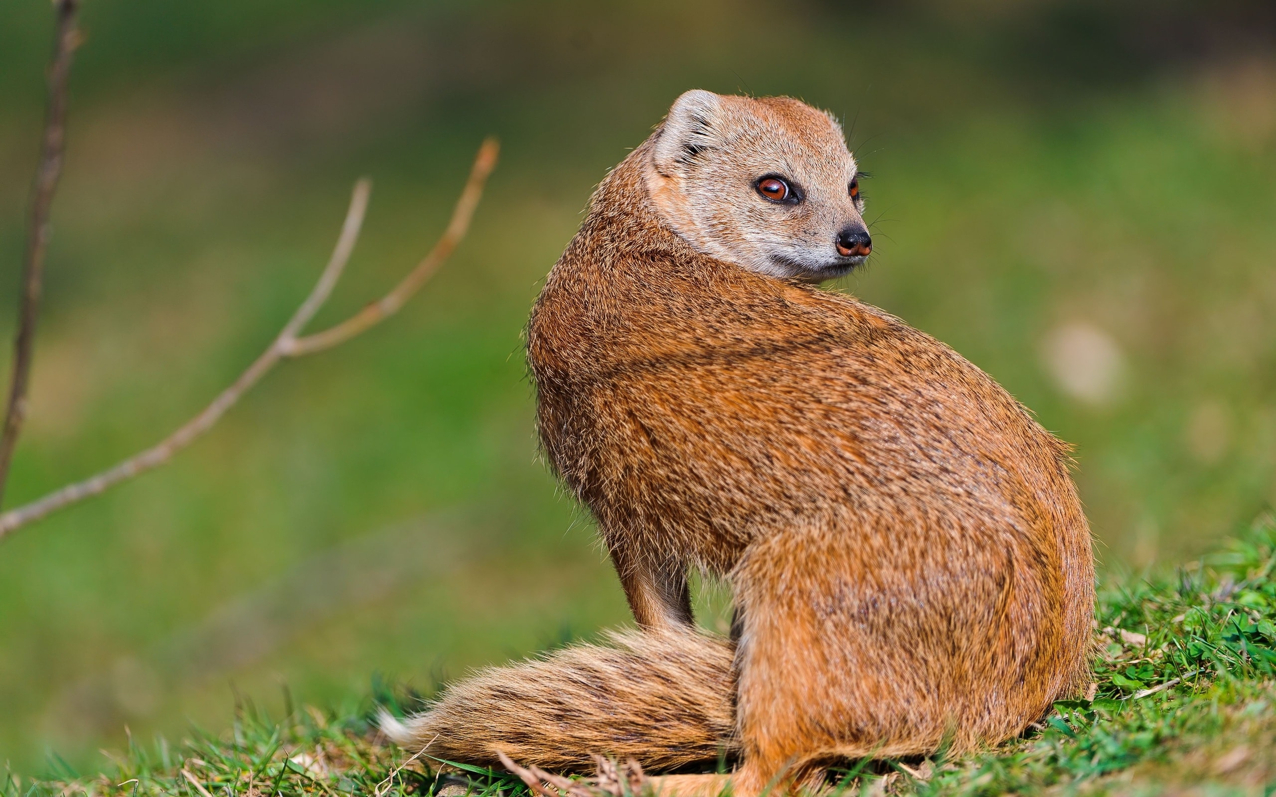 Mongoose Backgrounds