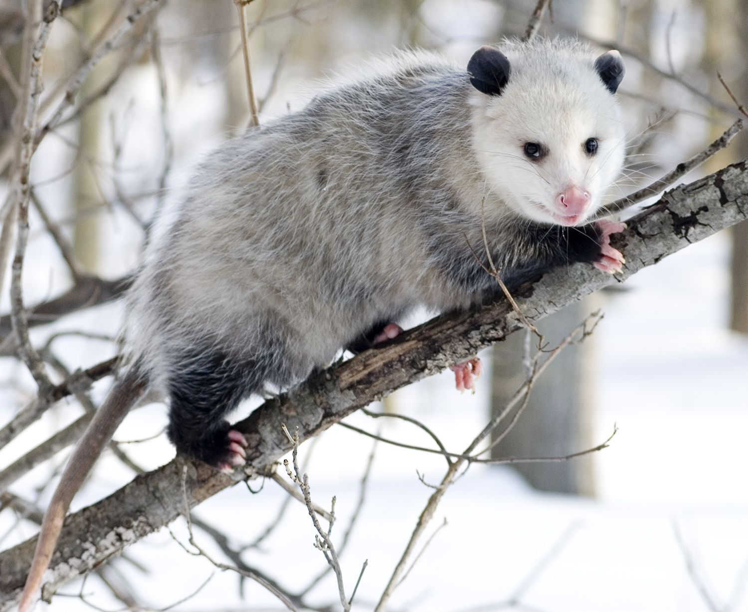 Opossum Backgrounds