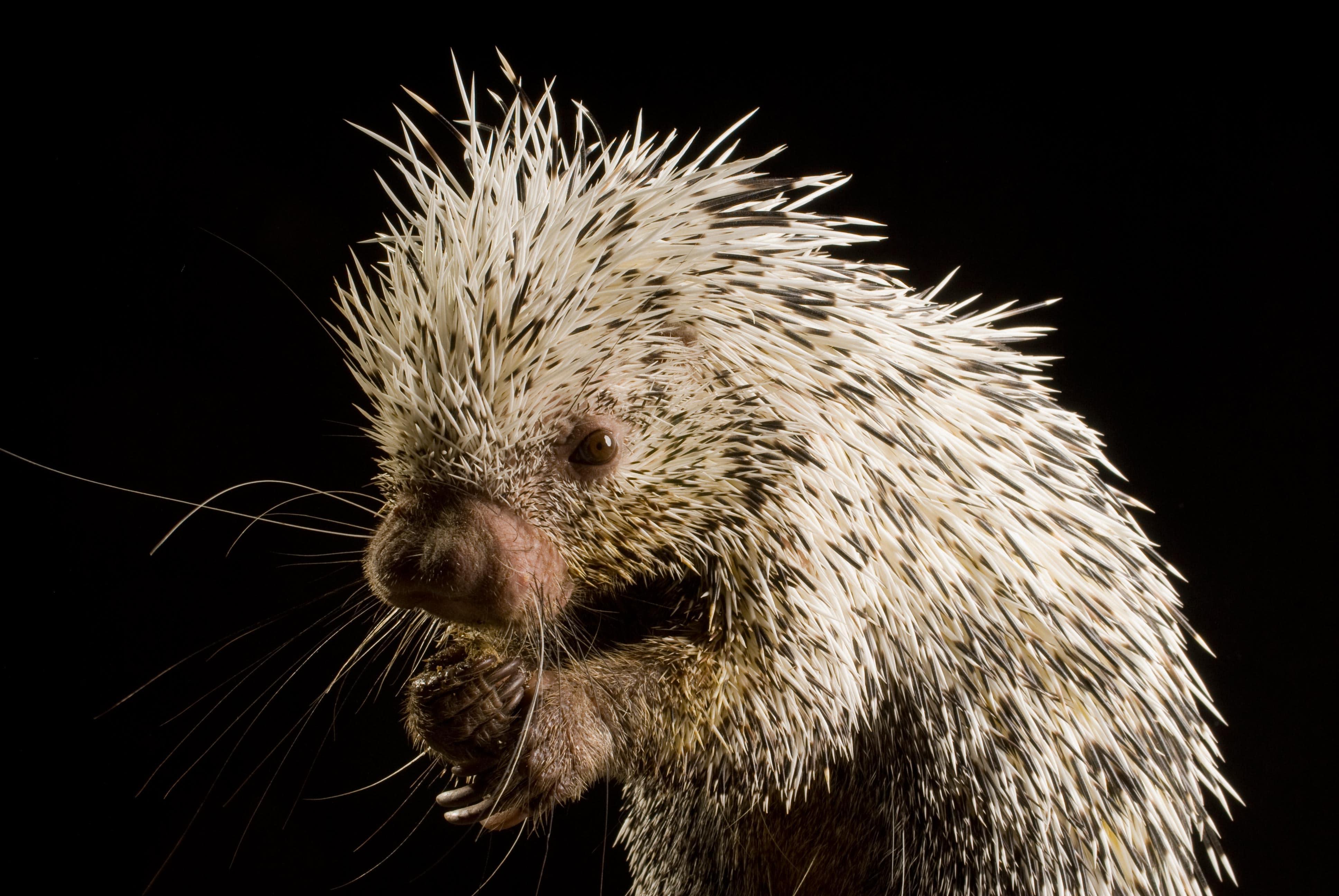 Porcupine Pictures