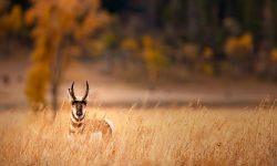 Pronghorn Backgrounds