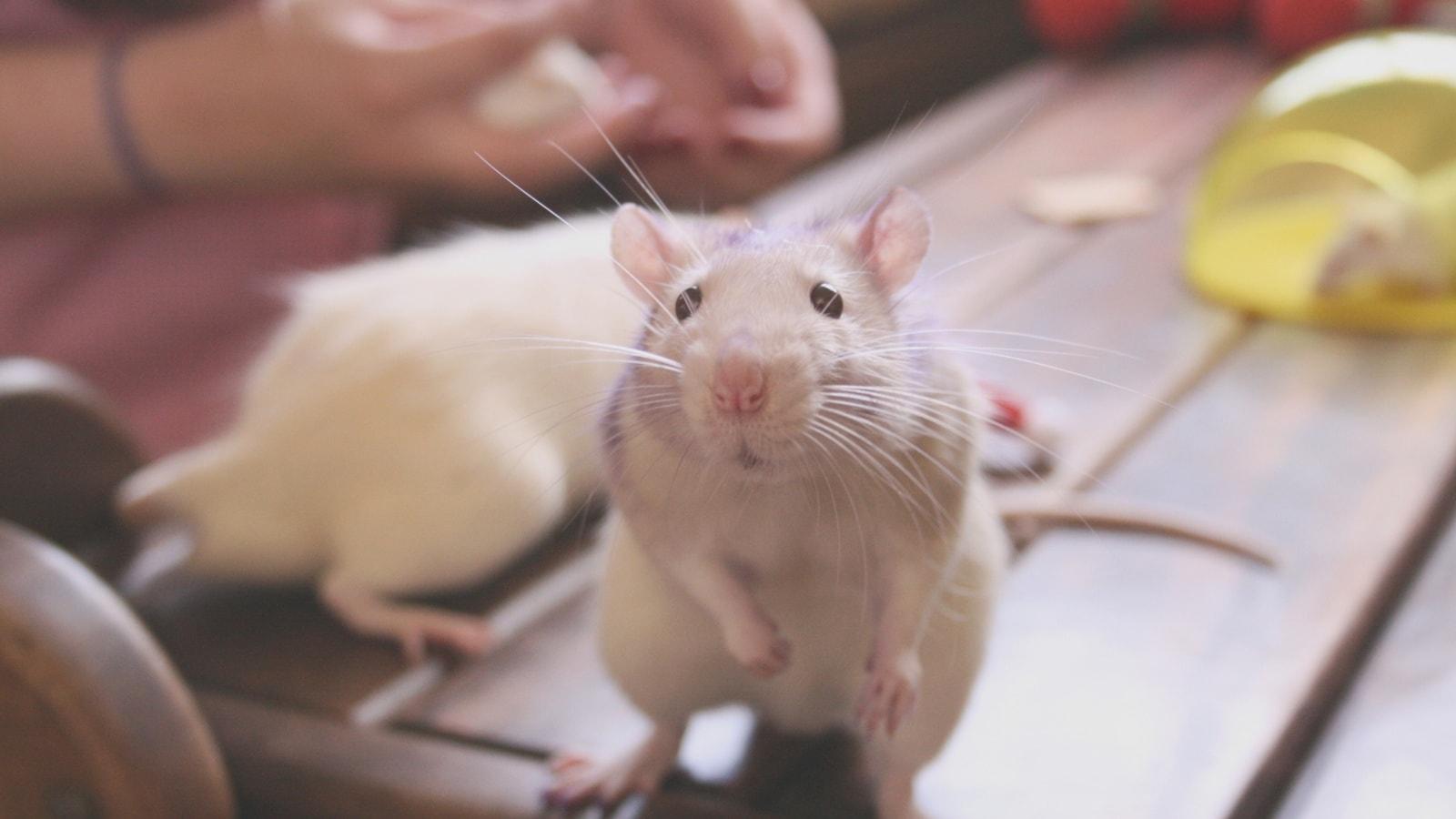 Rat Backgrounds
