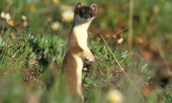 Weasel Backgrounds