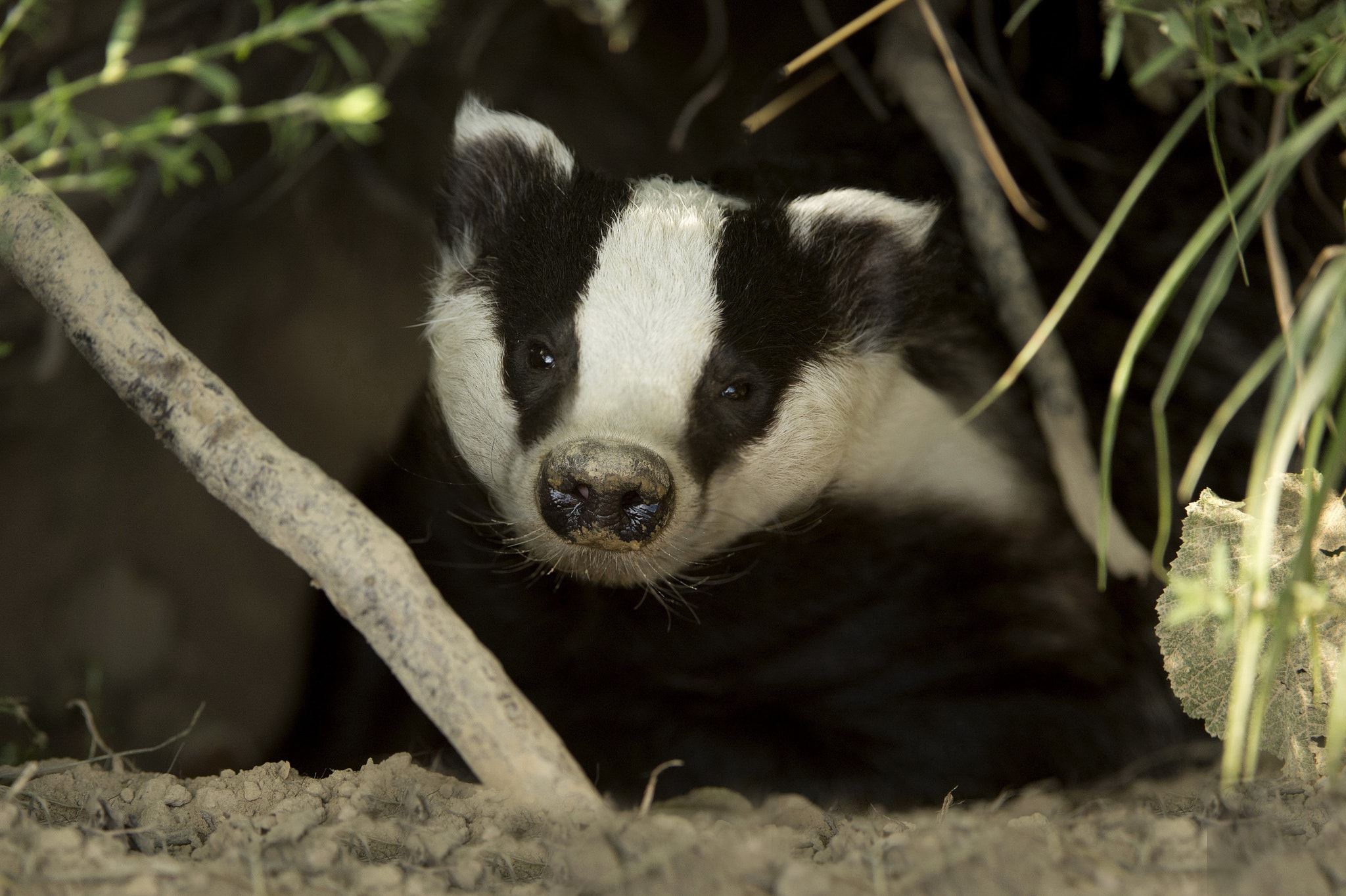 Badger Pictures