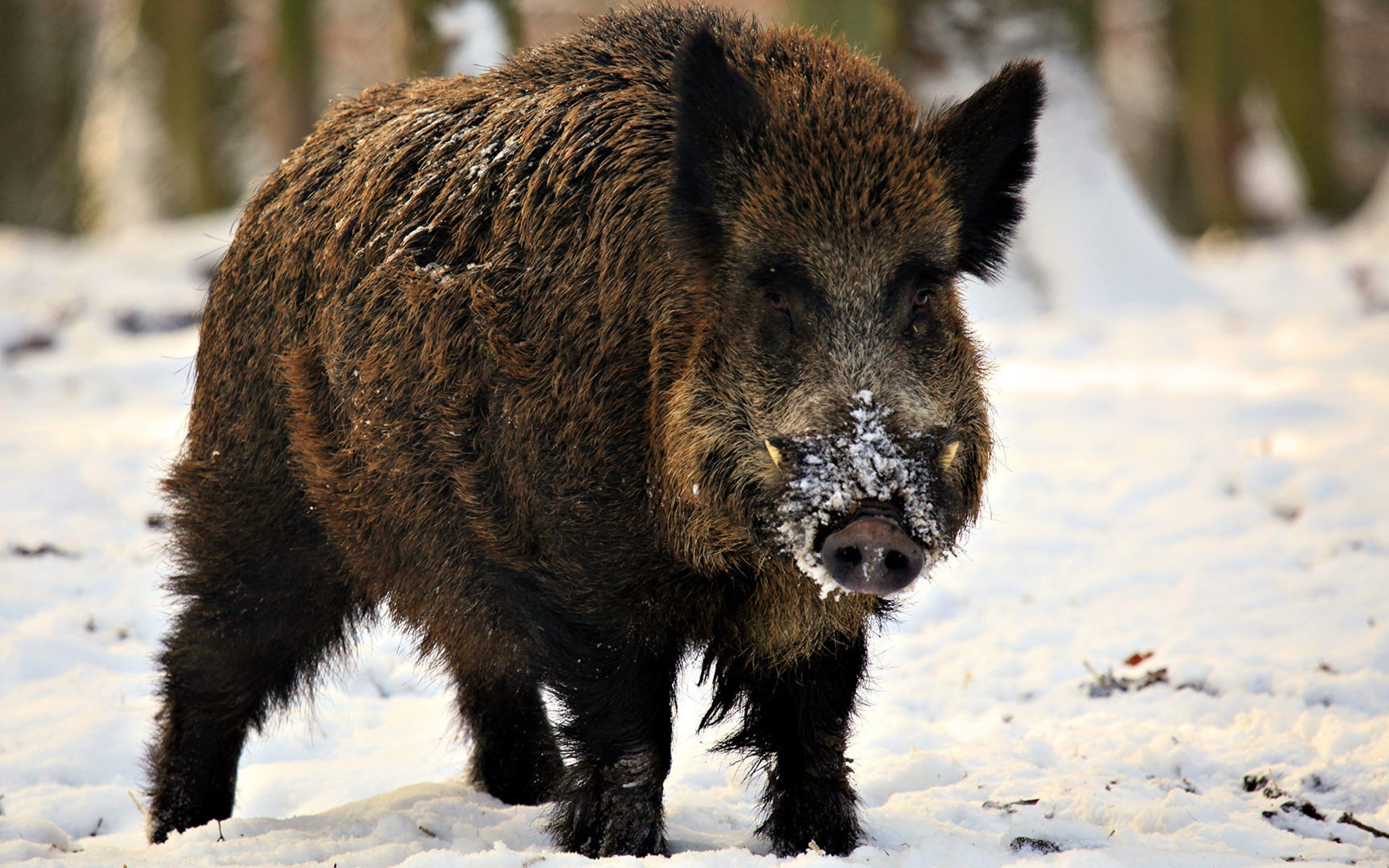 Boar Pictures