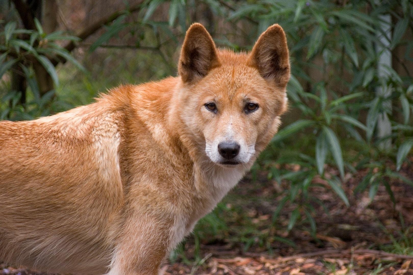 Dingo Pictures