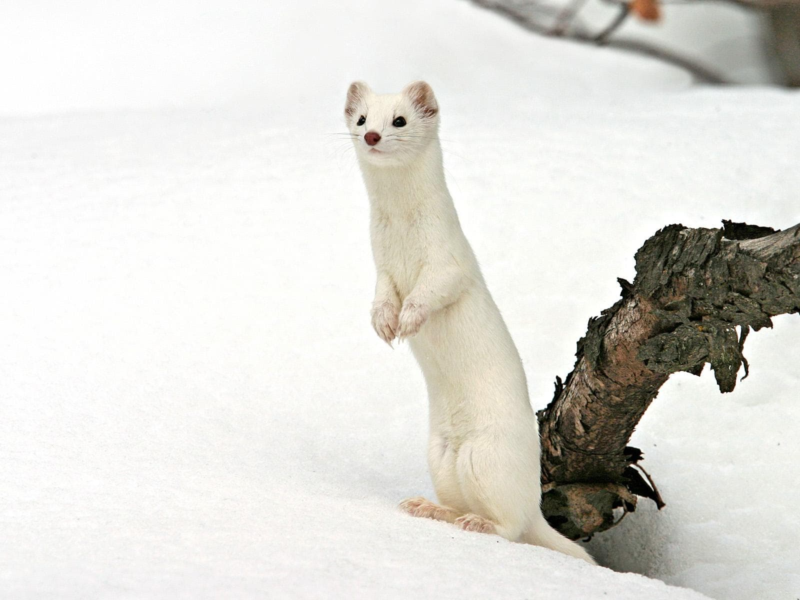 ermine wallpapers ermine hd pics ermine hd pictures Hd Iphone 5 Wallpapers Space