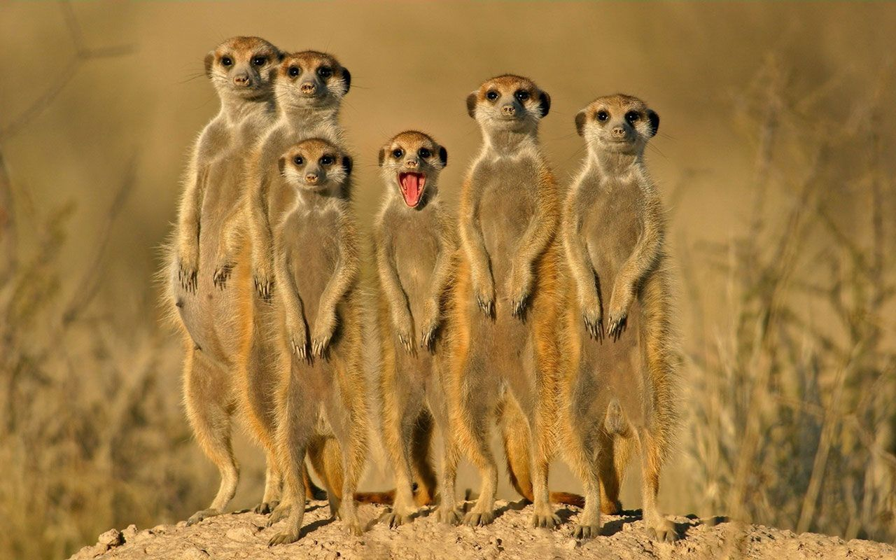 Mongoose Pictures