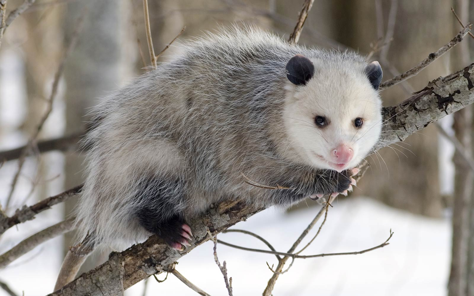 Opossum Pictures
