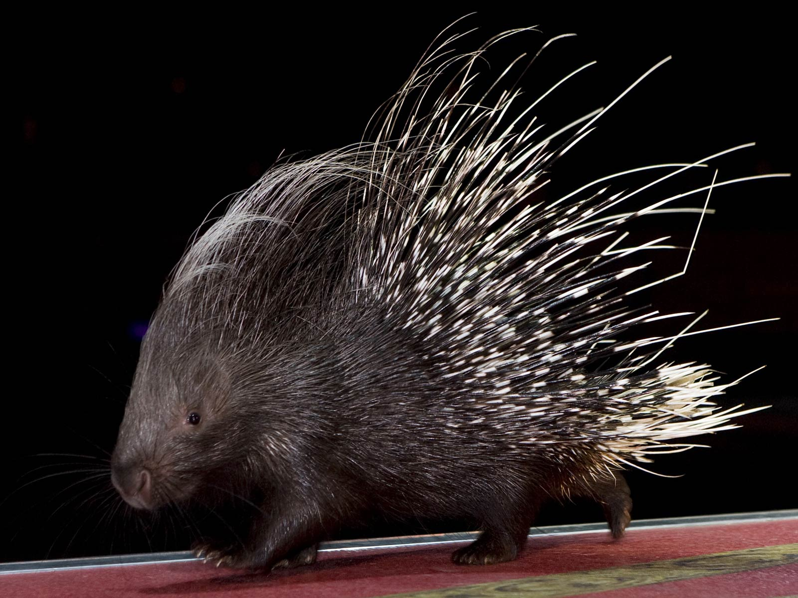 Porcupine HQ wallpapers
