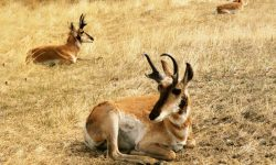 Pronghorn Pictures