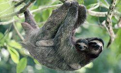 Sloth Pictures