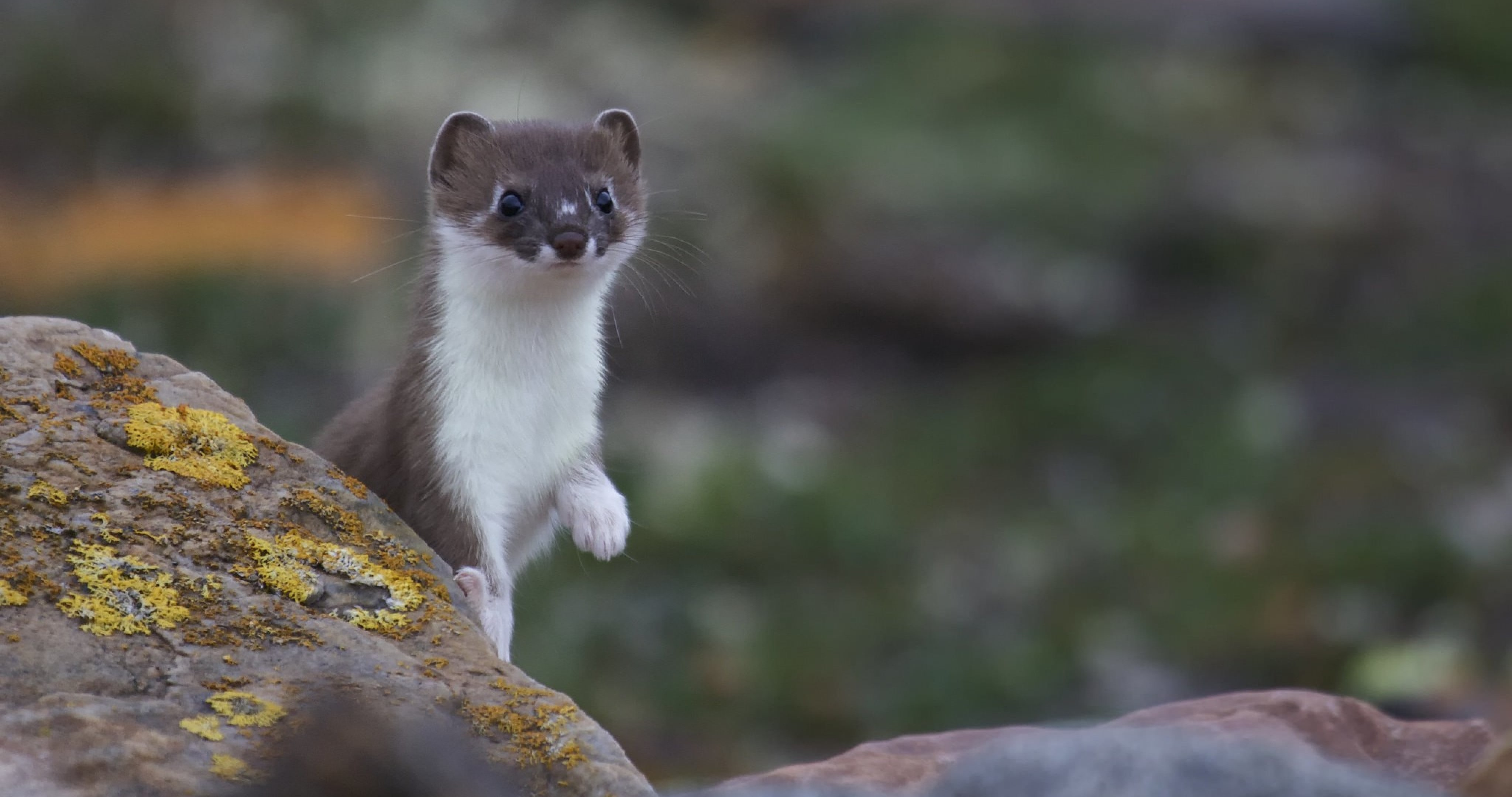 Weasel Pictures