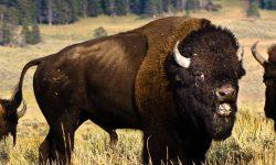 Buffalo Background