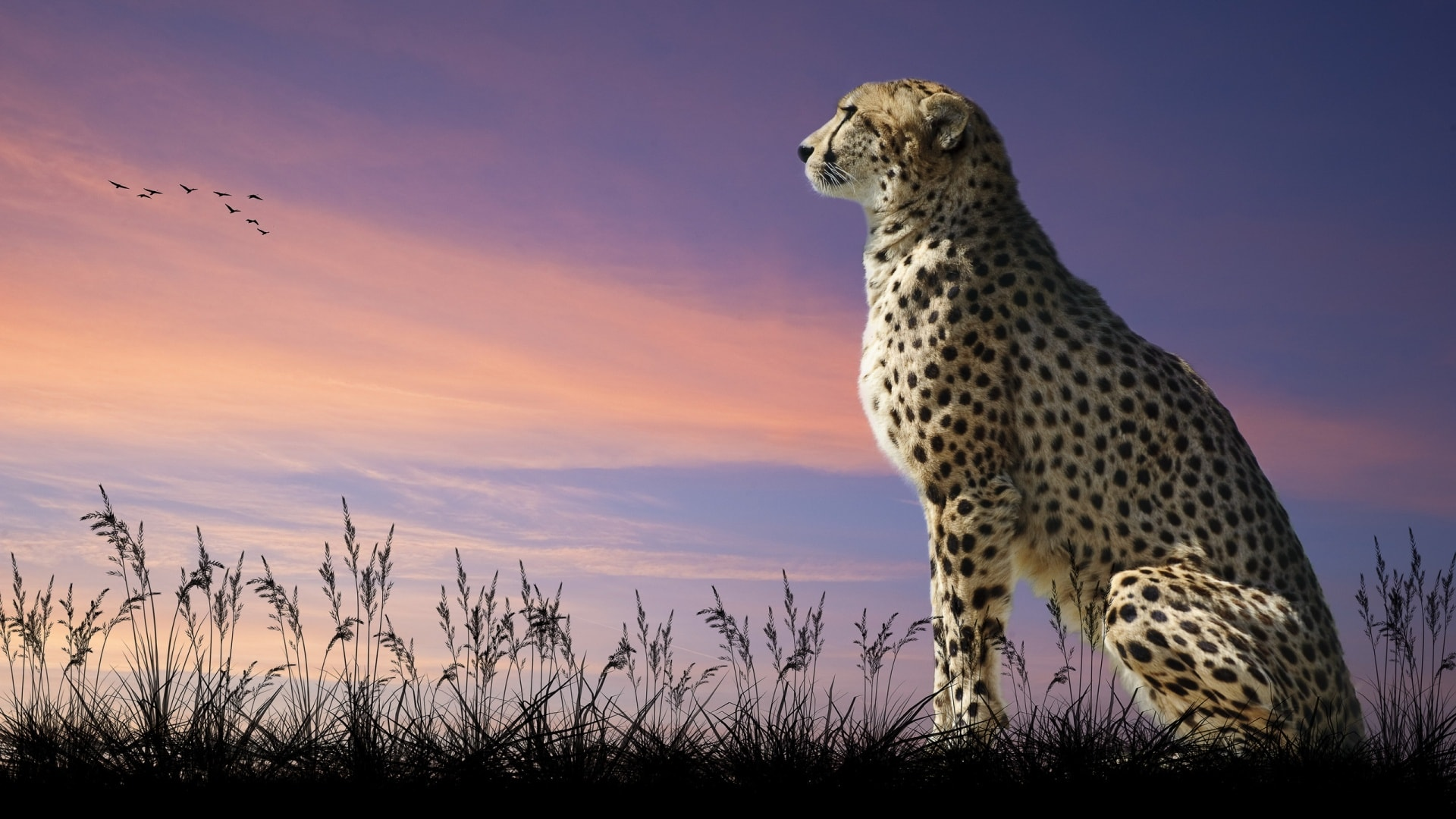 Cheetah HQ wallpapers