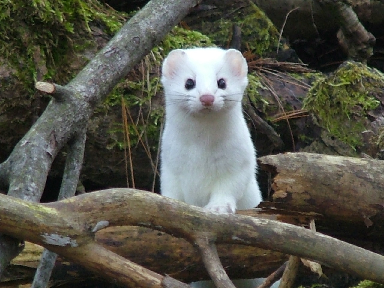Ermine Backgrounds