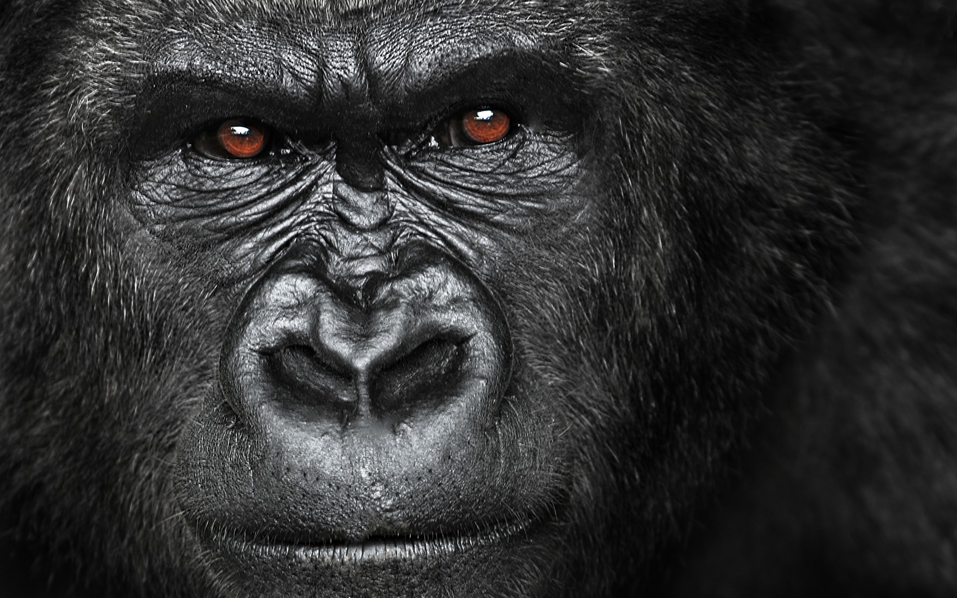 Gorilla Hd Wallpapers 7wallpapersnet