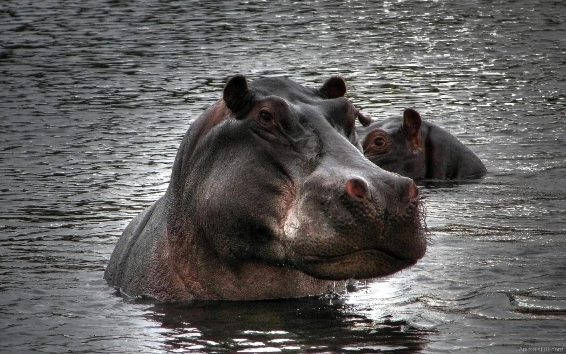 Hippopotamus HQ wallpapers