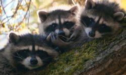 Raccoon HQ wallpapers