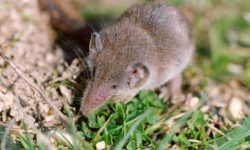 Shrewmouse widescreen wallpapers