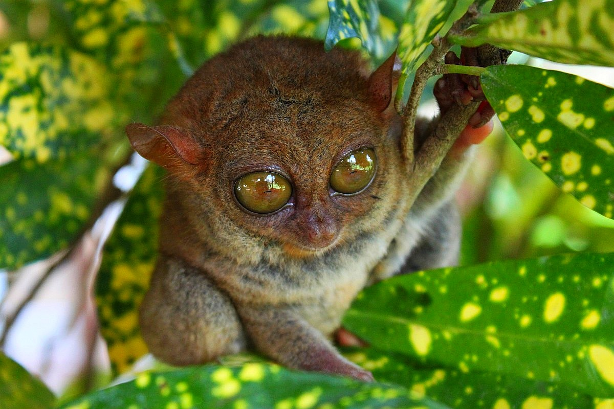 Tarsier HQ wallpapers