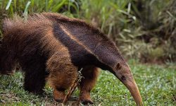 Ant-Eater Wallpapers hd