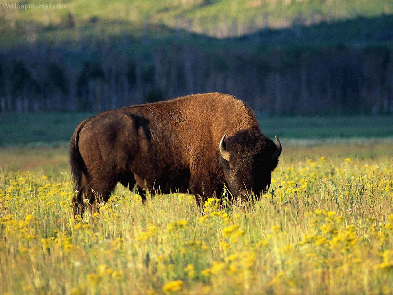 Buffalo HD pics