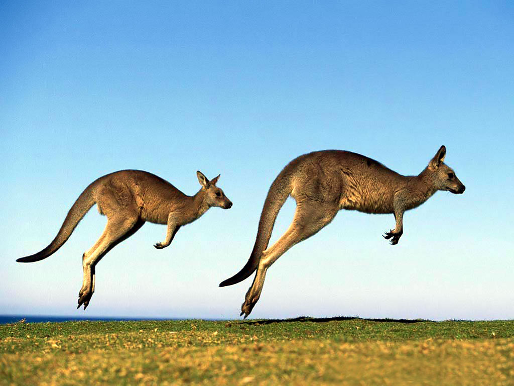 Kangaroo Background