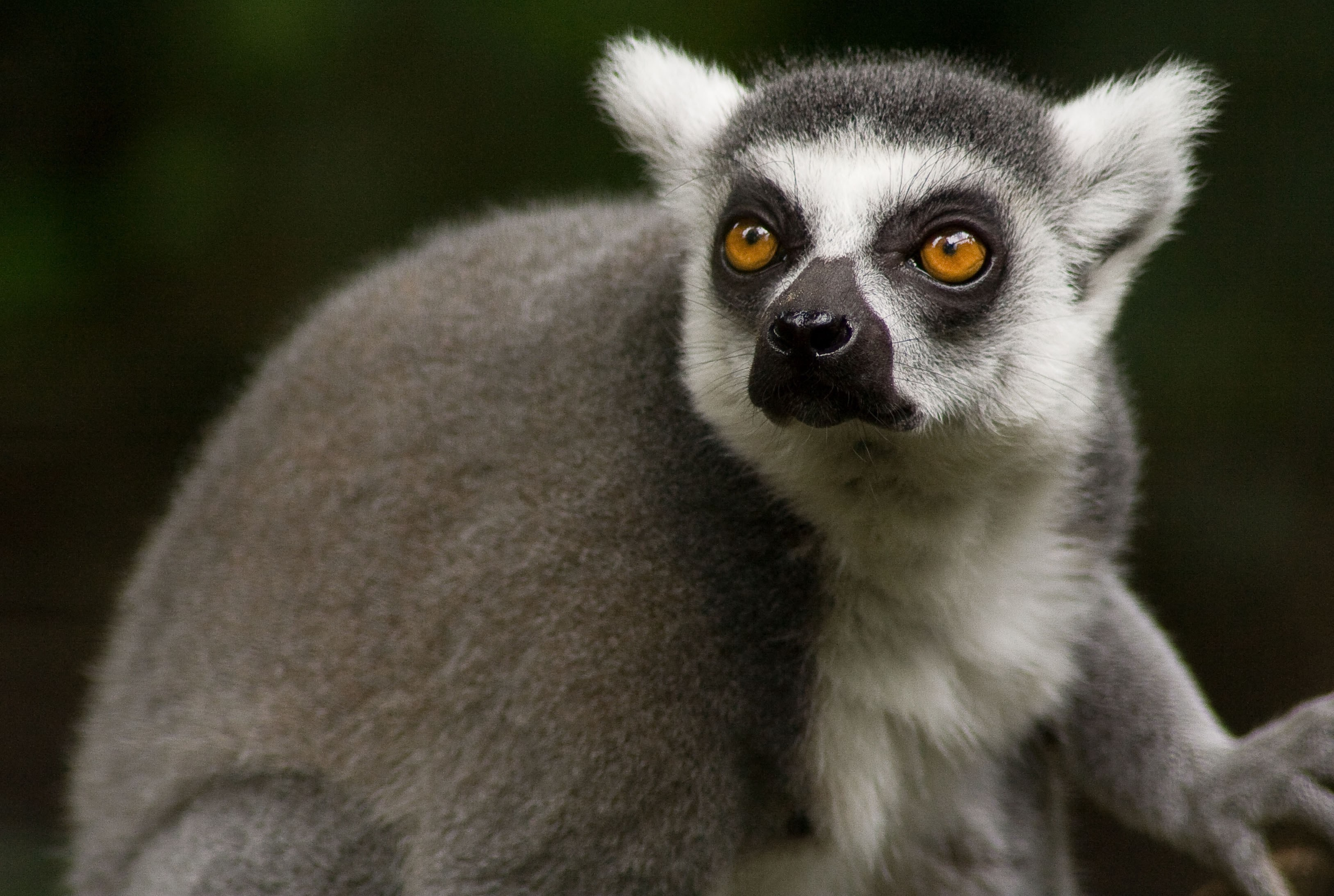 Lemur Background