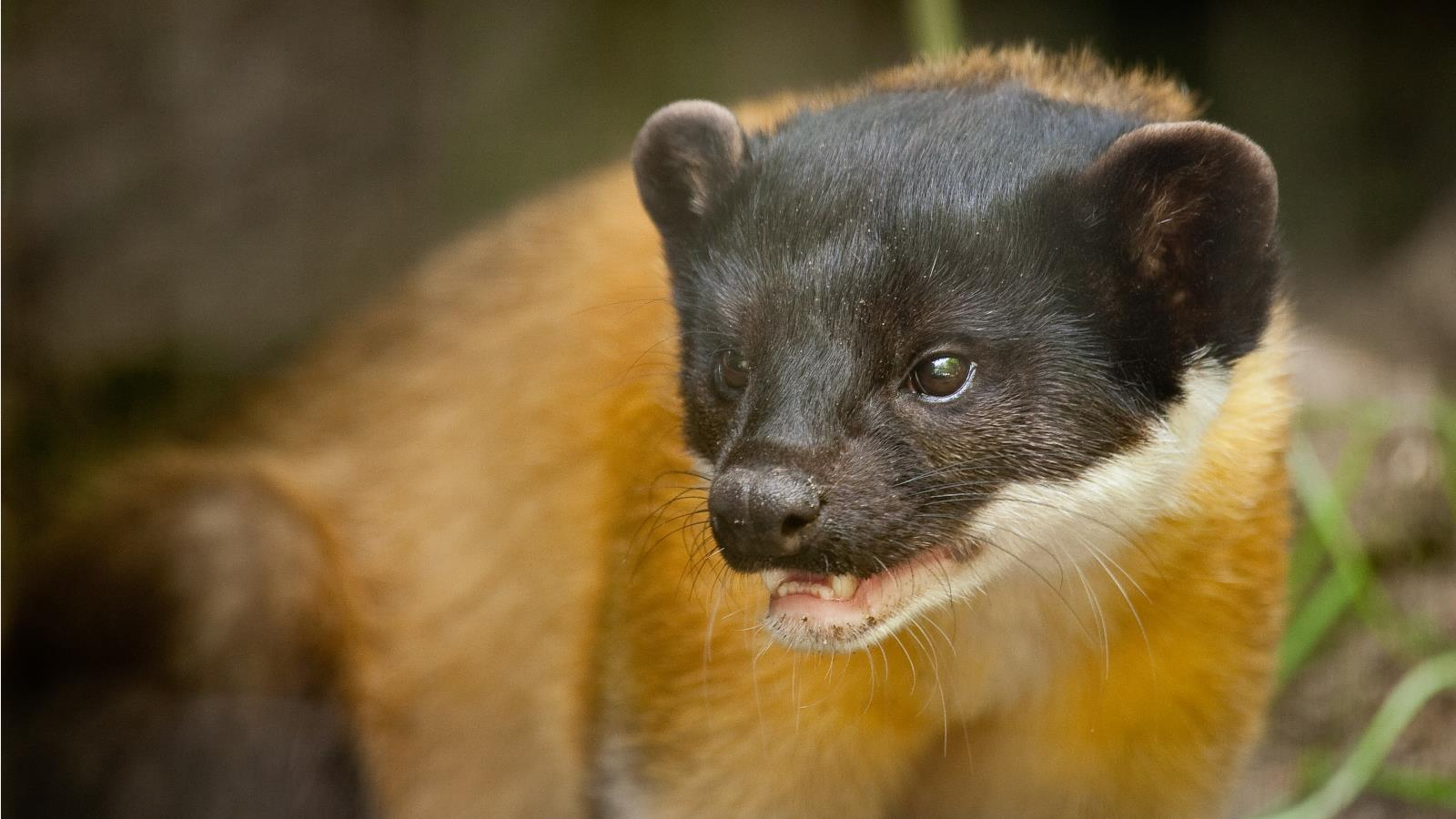 Marten Wallpapers hd