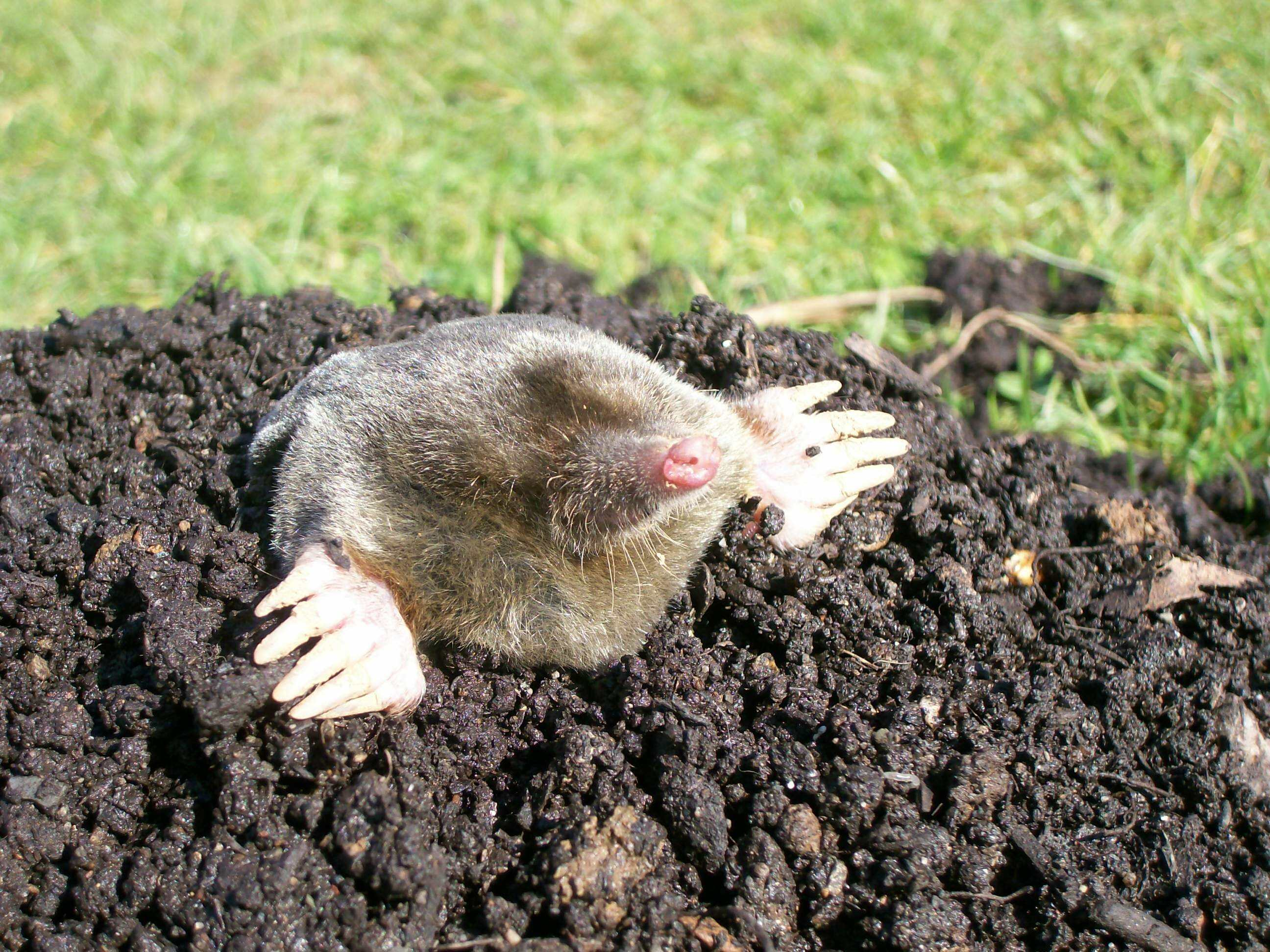 Mole Background