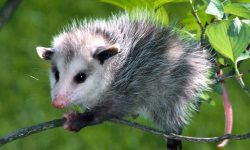 Opossum Background