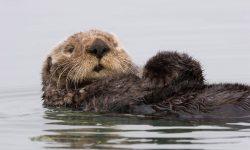 Otter Background