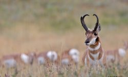 Pronghorn Background