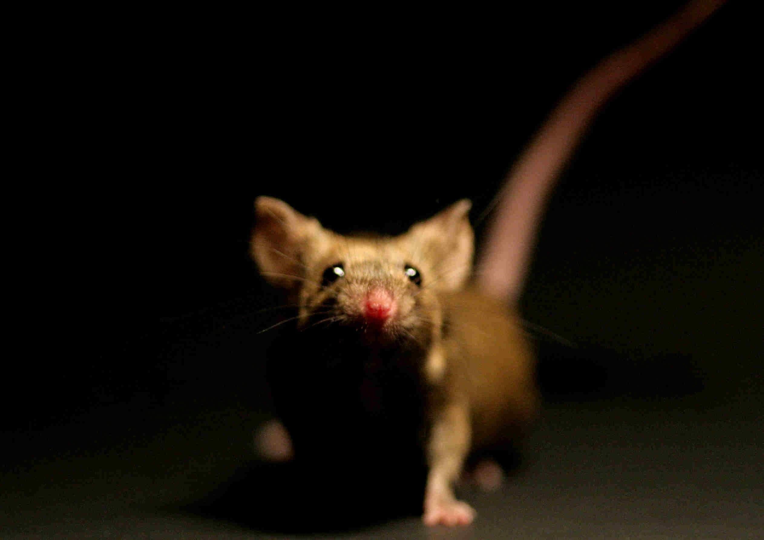 Rat Background