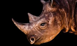 Rhinoceros Background