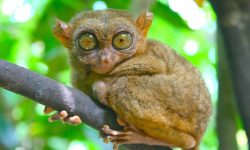 Tarsier Background