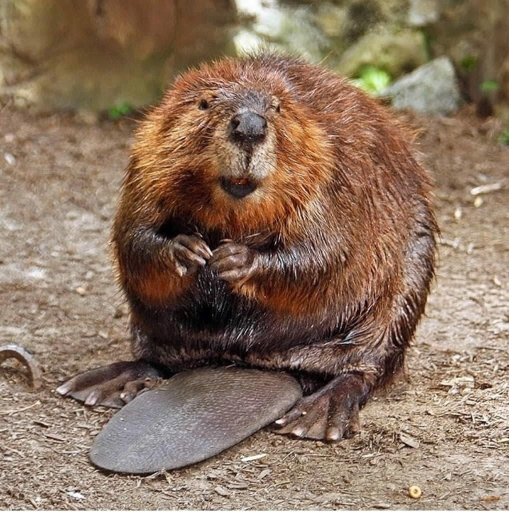 Beaver HD pics