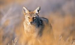 Coyote HD pics
