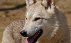 Dingo HD pics